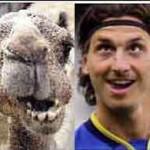 zlatan de kameel